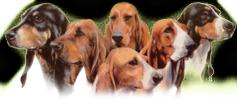 Club français des brunos et des chiens courants suisses
